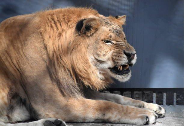 Liger (Photo by Yuri Smityuk\TASS via Getty Images)