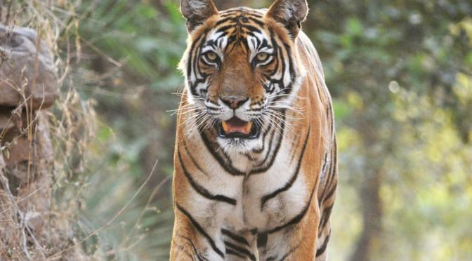 Check out the tiger's striped skin