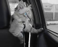 How to Travel by car with Cats
