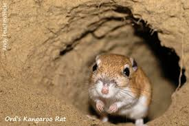 Know More About- Kangaroo Rats.