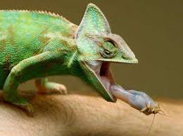 Know more about: The Chameleon