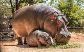 Know More About- Hippopotamus