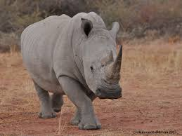 Know more about–Rhinocerus.