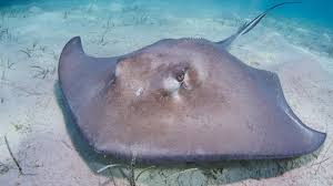 Know more about the; Stingrays