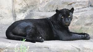 Know More About Panthers