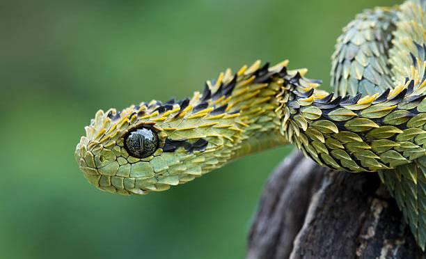 How Dangerous Is A Viper?